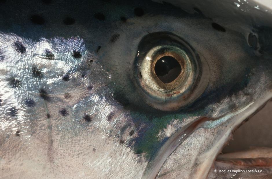Salmon 1994