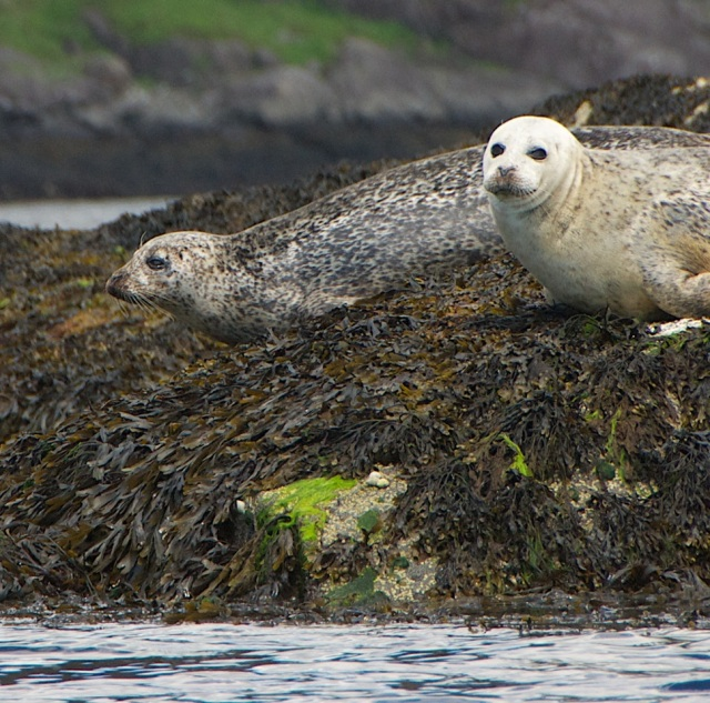 Lochs in Scotland: Seals at the Isle of Skye
