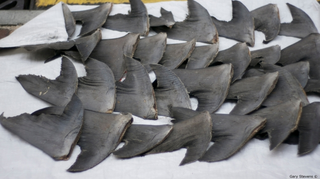 Shark fins drying in the street